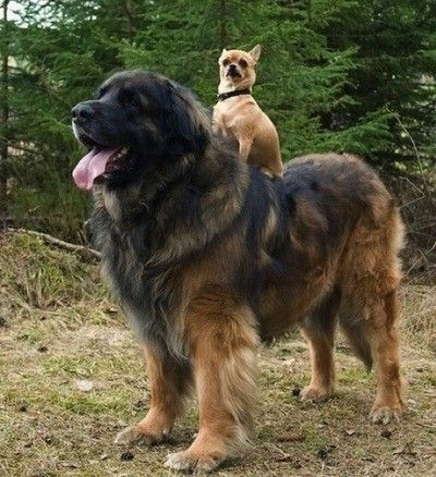 its a leonberger... i want the big lion doggy!!