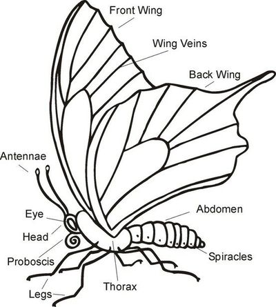 Butterfly parts worksheet - photo#5