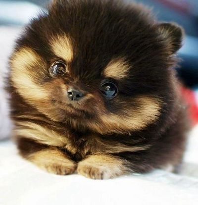 Pomeranian + Husky Mix Puppy. How the heck did THAT happen?!