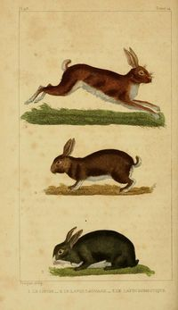 VINTAGE FRENCH PRINT OF RABBITS – OEUVRES COMPLÈTES DE BUFFON (1830)