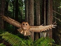 Northern Spotted Owl. Great shot!