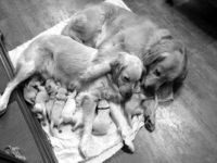 Family of Goldens!!