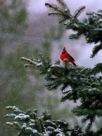Cardinal - perfect winter tree decoration!