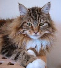 Maine Coon. Ours is Tessa
