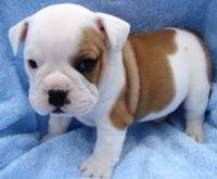 English Bulldogs Puppies from funniespet.com
