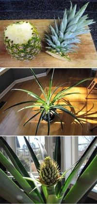 Grow your own pineapple...if only it didn't take two years!!