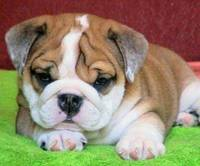 Adorable English Bulldogs Puppies from funniespet.com