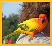 pretty in yellow and orange, Sun Parakeet