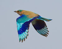 Indian Roller http://en.wikipedia.org/wiki/Indian Roller