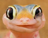 A gecko licks the morning dew off its eyeballs. This gecko is found on coastal sand dunes in Namibia. The nocturnal reptiles collect water on their eyeballs in the early morning when a mist bank descends as cool coastal air hits warm desert air. Then they...