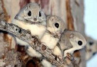 Momongas (nocturnal flying squirrels from Japan)