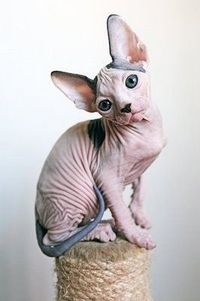 Gonna shave my cat so it looks like this =)