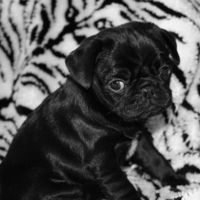 the only kind of pug I like is a solid black one!